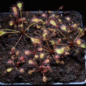 Drosera affinis {Namibia}
