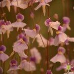 "Utricularia blanchetii ""pink flower"""