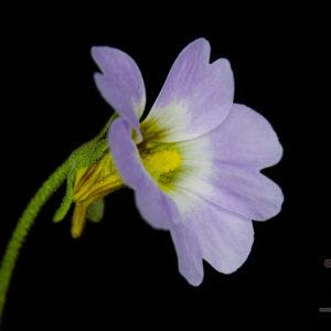 Pinguicula primuliflora