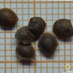 Mimosa pudica – 10+ seeds