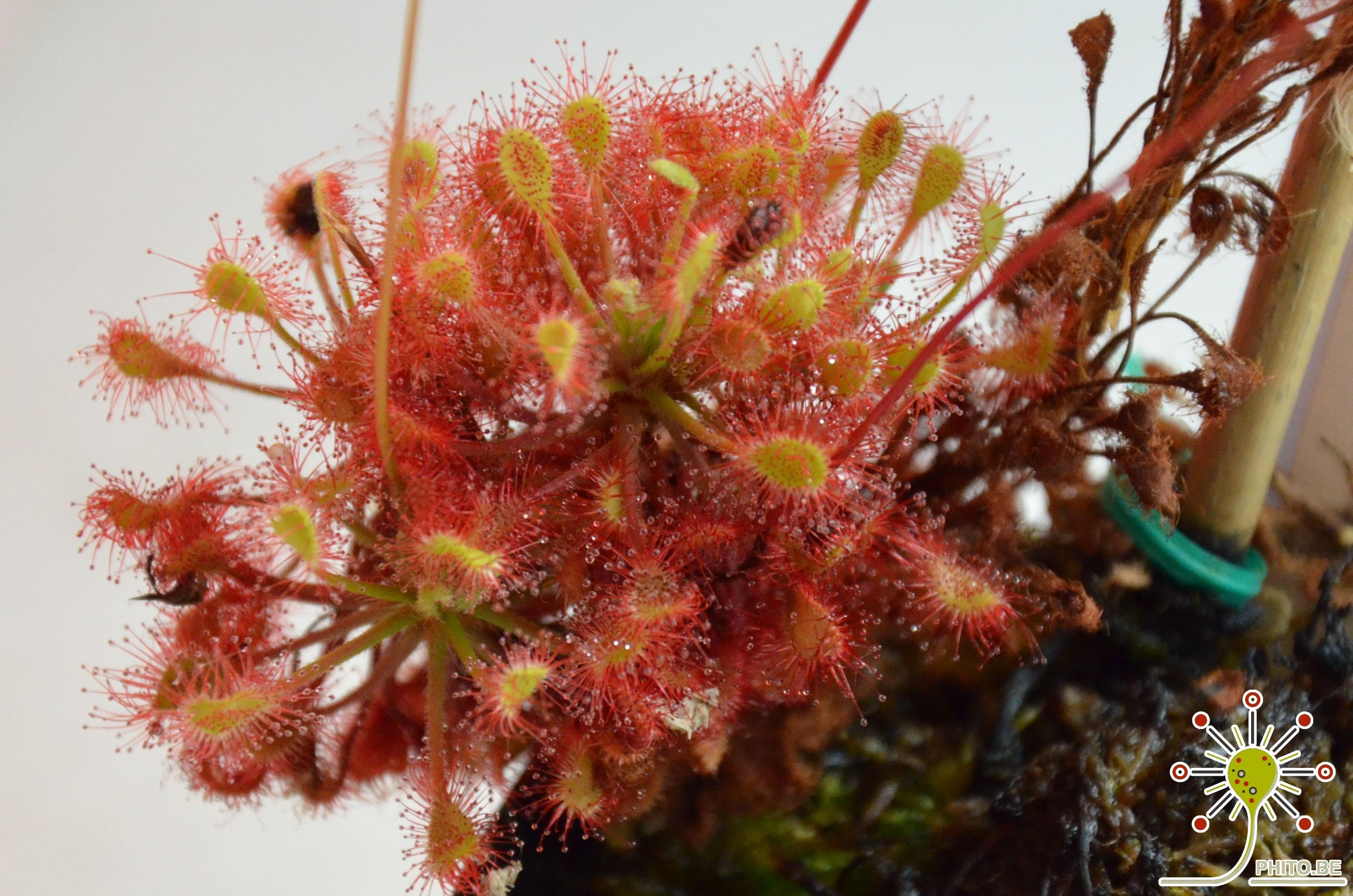 Propagating Drosera madagascariensis
