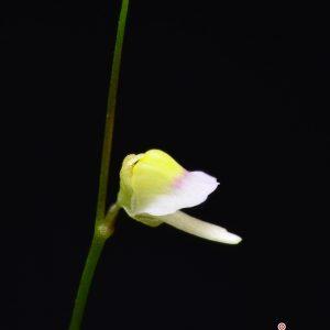 """Utricularia bisquamata """"small flower form"""""""