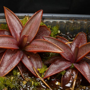 Pinguicula planifolia {Apalachicola river drainage, Florida}