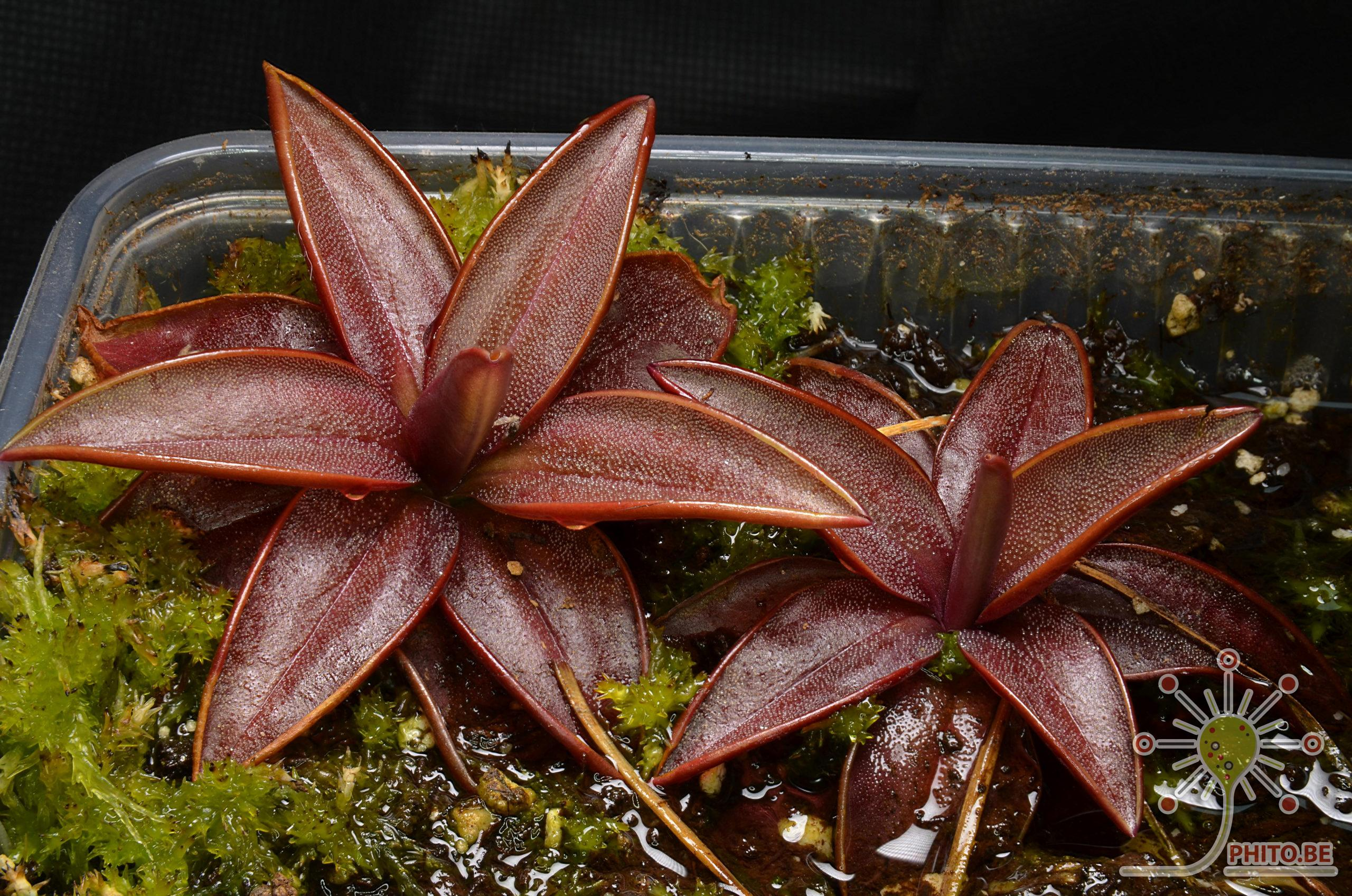 Pinguicula planifolia adultes à vendre 2020-07-16-17.00.03-ZS-DMap-scaled