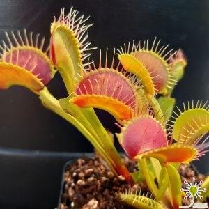 "Dionaea muscipula ""B52"""