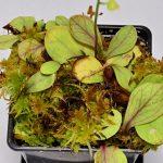 Utricularia calycifida