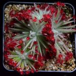 Drosera aff. lanata {Flying Fox Creek, N.T., Australia}