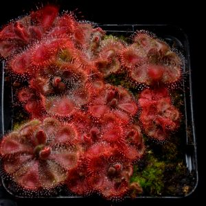 """Drosera burmanii """"pink"""" {Humpty Doo, N.T., Australia}"""