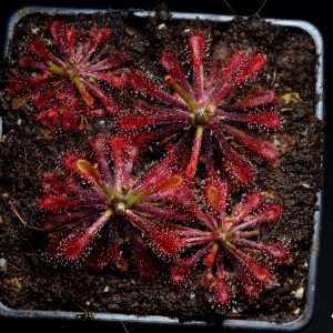Drosera oblanceolata x neocaledonica