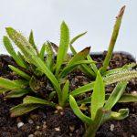 Drosera murfetii {Harz Mts, Tasmania} – Giant form