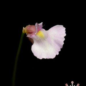 Utricularia rostrata