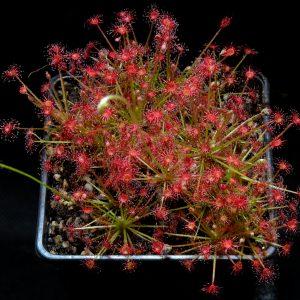 Drosera paradoxa {Drysdale River Station, Kimberley, Western Australia}
