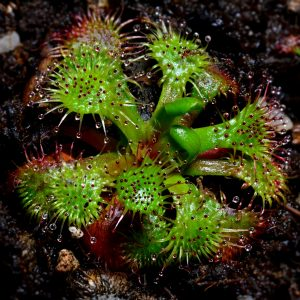 Drosera uniflora {Alerce Costero, Chile}
