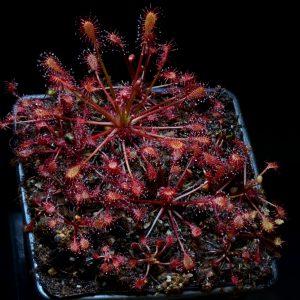 "Drosera intermedia ""topical form"""