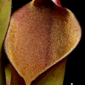 Heliamphora purpurascens {Ptari Tepui, Venezuela}