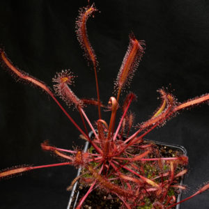 "Drosera capensis ""all red"""