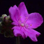 Drosera darwiniensis {Northern Territory, Australia}