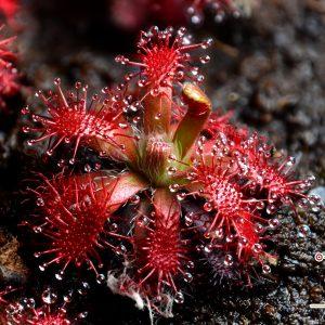 Drosera arenicola {Akopan Tepui, Chimanta Massif, Venezuela}
