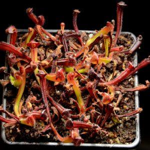 Heliamphora heterodoxa