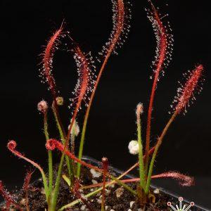 Drosera camporupestris