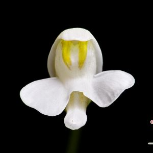 "Utricularia nephrophylla ""white flower"""