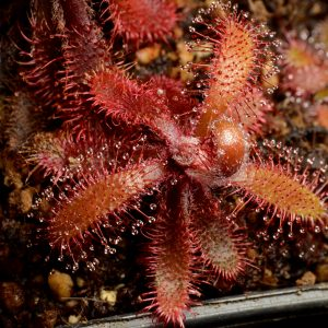 "Drosera latifolia ""red"""