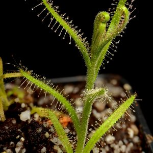 Drosera cistiflora – 1 dormant root