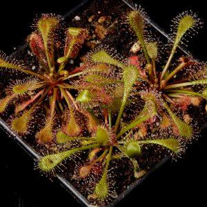 Drosera intermedia x brevifolia