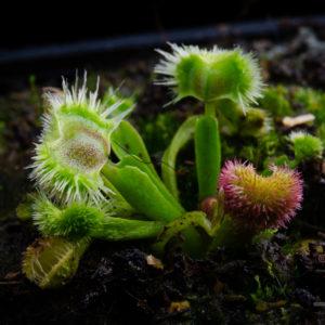 """Dionaea muscipula """"Cheerleader"""""""