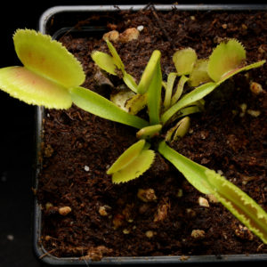 "Dionaea muscipula ""Whale"""