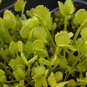 """Dionaea muscipula """"Werewolf"""""""