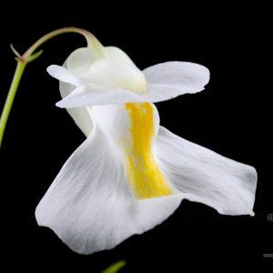 Epiphytic