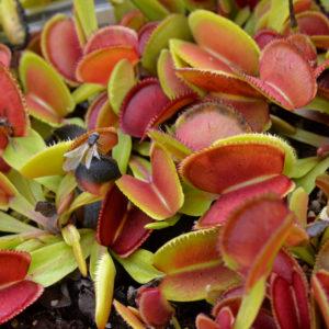 Dionaea muscipula «Microdent»