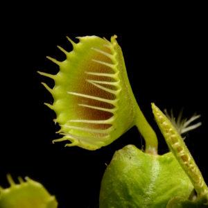 Dionaea muscipula «Funnel Trap»