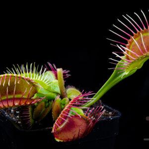 "Dionaea muscipula ""Phalanx"""