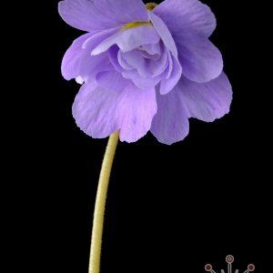 """Pinguicula primuliflora """"Rose"""""""
