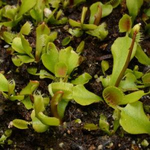 """Dionaea muscipula """"Cupped traps"""""""