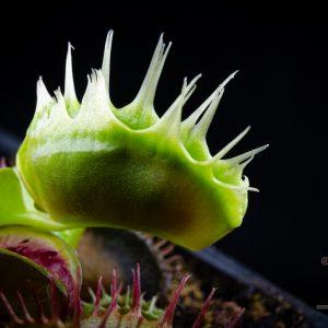 "Dionaea muscipula ""Fused Tooth Extreme"""