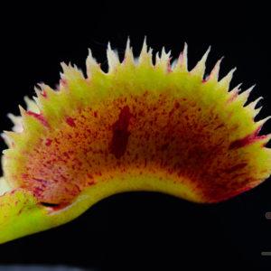 """Dionaea muscipula """"Scarlatine"""""""