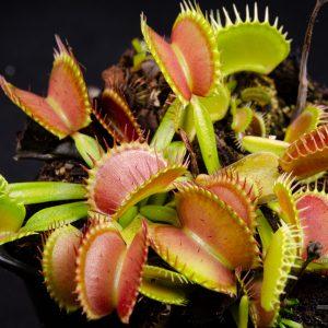 "Dionaea muscipula ""Raptor"""
