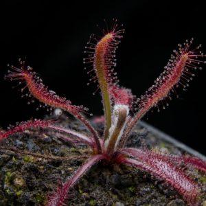 Drosera latifolia x villosa