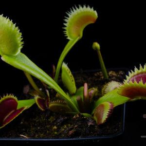 """Dionaea muscipula """"UK Sawtooth I"""""""