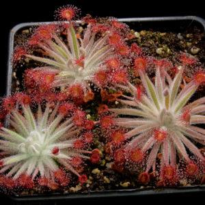 Drosera petiolaris hybrid #2