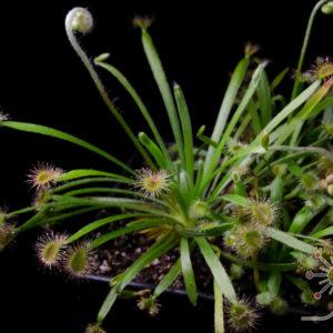 Drosera aff. dilatato-petiolaris