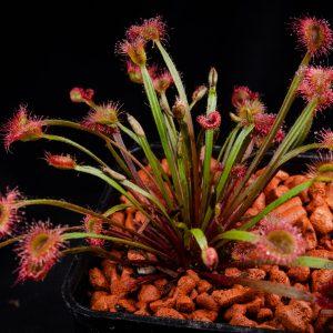 Drosera petiolaris hybrid #1
