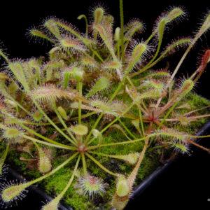 Drosera nidiformis