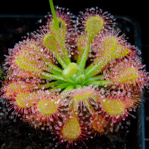 """Drosera capillaris """"Emerald's Envy"""""""