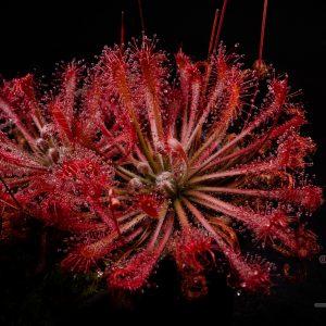 Drosera oblanceolata