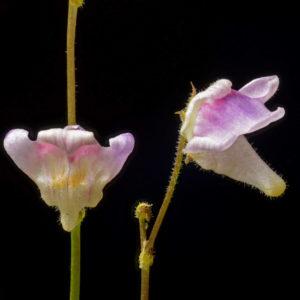 Genlisea hispidula