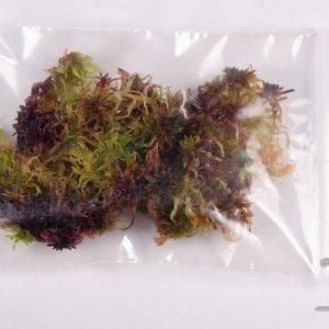Sphagnum rubellum